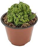 Euphorbia enopla Crestate - Wolfsmilchgewächs aus Madagaskar - pflegeleichte Sukkulente/Zimmerpflanze für das helle Fensterbrett