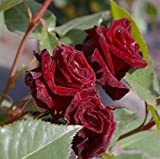 Edelrose Black Baccara® - Rosa Black Baccara® - Teehybride - dunkelrot-schwarz -