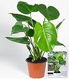 BALDUR-Garten Monstera, 1 Pflanze Fensterblatt Zimmerpflanze Grünpflanze