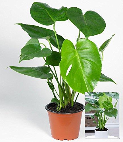 BALDUR-Garten Monstera,1 Pflanze (Monstera Pflanze)