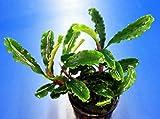 Bucephalandra sp. 'Green Velvet' im Topf...