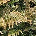 Rotschleierfarn von Native Plants bei Du und dein Garten