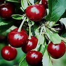 Sauerkirsche Kirsche Prunus cerasus /'Schattenmorelle/' Halbstamm ca 170 cm im Co