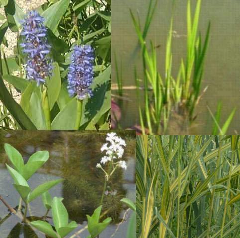 großes Teichpflanzen Komplettset -7- mit Wasserschwaden, Kalmus, Wasserminze und Hechtkraut aus Naturteichen, tolle Ware, nie Wieder Algenprobleme