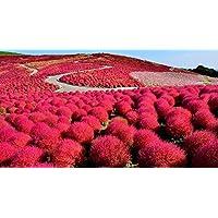 exotisch Garten Pflanze Samen winterhart Sämereien Exot Staude HEILIGER BAMBUS