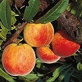 Pfirsichbaum Dixired, süßer Pfirsich Buschbaum 120-150 cm 10 Liter Topf, Unterlage: Prunus pumila