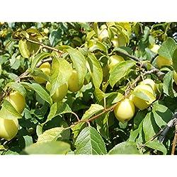 Kirschpflaume (Prunus cerasifera) 10 Samen -Frisches Qulitätssaatgut-