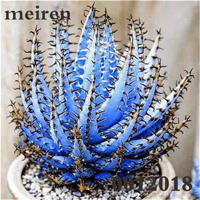Plentree Pacchetto semi: 100 pezzi Succulente Aloe Bonsai Rare Polyphylla rotazione Aloe Vera regina Bonsai Piante grasse per la casa e amp; Giardino: 9