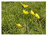 100% Wildblumensamen, passend für die meisten Bodentypen. 45 Gramm Heimische Wiesensamen- MeadowMania. Bedecken bis zu 30 m², EINWEG