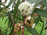 Schnee Eukalyptus - Samen (30/60/120) **Eucalyptus pauciflora ** (30)