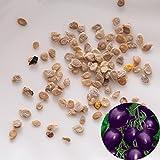 Rosepoem 50 Samen lila Kirschtomate Bio Obst Gemüsepflanze