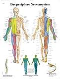 3B Scientific Lehrtafel - Das periphere Nervensystem