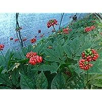PLAT FIRM Semillas DE GERMINACION: 300 Semillas de Ginseng: Chino/Corea panax Ginseng Semillas Silvestres