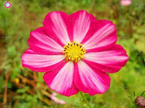 Pinkdose 100 STÜCKE Cosmos Blumen pflanze Bonsai Chrysanthemum Cosmos pflanze Topfpflanzen Mehrjährige Garten Zierpflanzen: 8