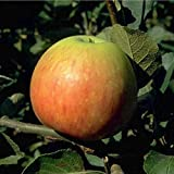 James Grieve Apfelbaum Obstbaum 100-150 cm Niedrigstamm Sommerapfel Tafelapfel