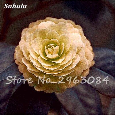 5 pièces rares Graines arc-en-Camellia fleurs, plantes en pot de bricolage, Lumière Parfumée intérieur Fleur, intérieur Bonsai planter des fleurs Semences 15