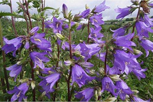 JustSeed Wild Flower Nesselbl ttrige Glockenblume Campanula trachelium 2500 Samen