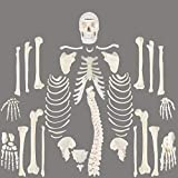 Full Disarticulated Skeleton, Human Anatomical, Life-Size, 170cm, Medical Quality, by ScienceFox