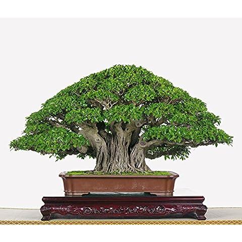 20seed / bolsa Miniascape semillas del árbol verde semillas de arce bonsai semillas de arce japonés cian raro para plantas de jardín de la familia en el balcón
