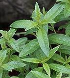 Zitronenverbene - Teepflanze