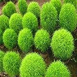 di semi di cipresso estate, Kochia piantine di ginestra pavone di pino - 100 pc / lotto