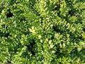 Heckenkirsche 'Maigrün' - immergrüner Böschungsbegrüner von Native Plants von Native Plants bei Du und dein Garten
