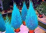 Hot 30 PC / bag Thuja Thuja blauen Zypresse Nadelbaum Samen sät DIY Hausgarten geben Verschiffen frei
