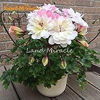 Fash Lady 5 UNIDS Raras Geranio Flor Rosa Blanca Doble Pétalos Perenne Herencia de la Pelargonium Grandes Floraciones Jardín de DIY Al Aire Libre