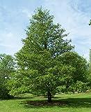 Portal Cool Alnus Glutinosa Gemeinsame Schwarzerle 50 Samen Laubbaum Strauch Bonsai Ukfreepp