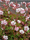 Geranium cantabrigiense Biokovo - Cambridge-Garten-Storchschnabel, 15 Pflanzen im 7/6 cm Topf