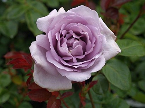harry-edland-harkness-scented-garden-rose-in-a-35-litre-pot