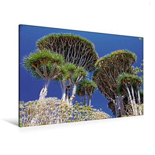 Calvendo Premium Textil-Leinwand 120 cm x 80 cm quer, Drachenbäume | Wandbild, Bild auf Keilrahmen, Fertigbild auf echter Leinwand, Leinwanddruck Natur Natur