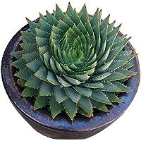 Rosepoem 100 pcs / sac Rare Vert Cactus Graines Variété Exotique Floraison Couleur Cactus Rare Cactus Aloe Graine Bureau Plante Succulente Plantation