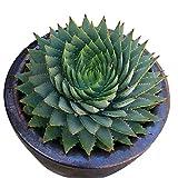 Rosepoem 100 pz / borsa Rare Green Cactus Seeds Variety Esotico Fioritura Colore Cactus Rare Cactus Aloe Seme Ufficio Pianta Succulente Piantare