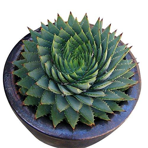 Rosepoem 100 teile / beutel Seltene Grüne Kaktus Samen Vielzahl Exotische Blühende Farbe Kakteen Seltene Kaktus Aloe Seed Büro Pflanze Sukkulenten - Seltene Teile