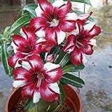 Kisshes Seedhouse - 100pcs Graines de Rose du désert grainé fleur jardin Adenium obesum plante d'intérieur Plantes Vivace succulente