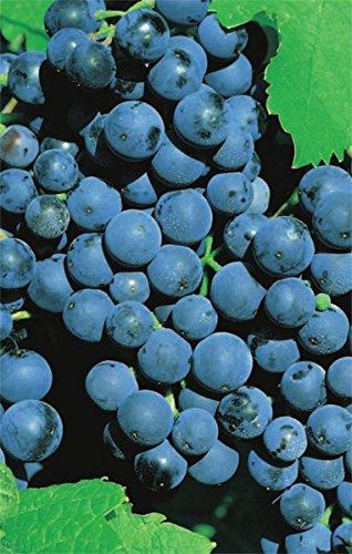 Vitis vinifera Weinrebe Dornfelder | blaue Weintraube Tafeltraube | mittelfrühe