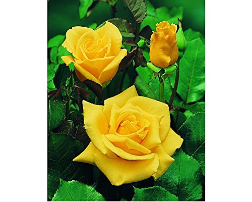 1-pianta-piante-di-rosa-sunsilk-produce-fiori-gialli-profumati