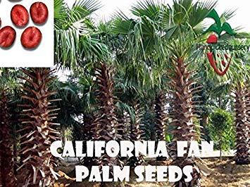 Potseed Samen Keimung: 10 California Fan Palm Samen, (WASHINGTONIA Filifera) von Hand gepflückt Nursery