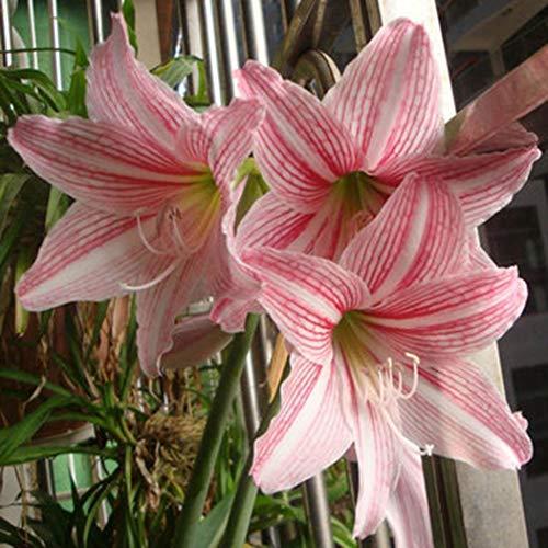 MEIGUISHA Gartensamen -Selten duftend Baumlilien Lilium Hybride Lilie 'Brasilia' lilien zwiebeln winterhart Blumensamen mehrjährig, geeignet für GartenBalkon (20,4)