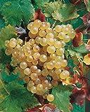 Risitar Graines - 50pcs Rare Vigne Exalta/rose/noir/blanc parfumés, Fruitiers Grainé jardin plante vivace résistante au froid