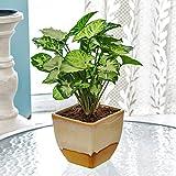 #7: Exotic Green Nice Syngonium Hybrid Indoor Plant Cream & Cookie Pot