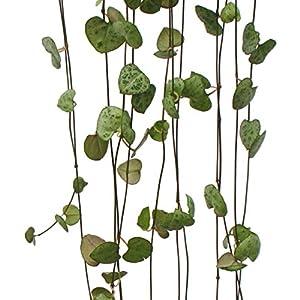 Zimmerpflanze zum Hängen - Ceropegia woodii - Leuchterblume - 10cm Ampel von exotenherz - Du und dein Garten