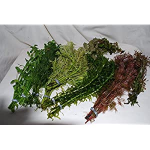 25 Bunched & Weighted Live Aquarium Plants – Collection of Aquatic Plants for your fish tank