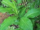 Moolikavana Garden Insulin A Plant -Costus Igneus