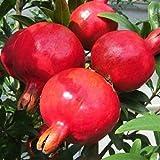 ALBERO DI MELOGRANO DENTE DI CAVALLO- pianta vera da frutto da esterno immagine