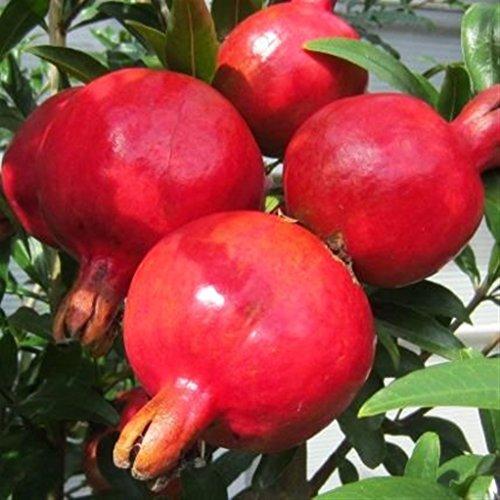 ALBERO DI MELOGRANO DENTE DI CAVALLO- pianta da frutto da esterno