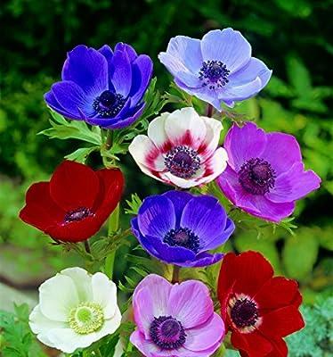 80 Zwiebel Anemonen de Caen Farb-Mischung Größe 4/5 von Dominik Gartenparadies - Du und dein Garten