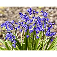 by Woodland bulbs® 100 x English Bluebell Bulbs (in The Green) Hyacinthoides Non Scripta | Top Quality Freshly Lifted to Order, Premium Quality Bulbs Guaranteed (Free UK P&P) ®️