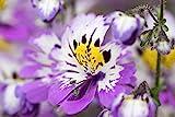 Bauern-Orchidee, Spaltblume 50 Samen, (Schizanthus x wisentoensis),schmetterlingsblume
